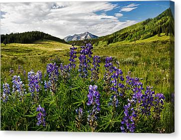 Canvas Print featuring the photograph Crested Butte Lupines by Ronda Kimbrow