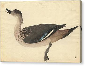 Crested Duck Canvas Print