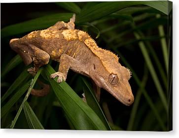 Crested Gecko Rhacodactylus Ciliatus Canvas Print by David Kenny