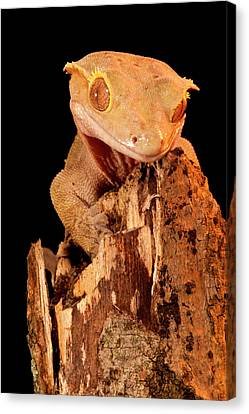 Crested Gecko, Rhacodactylus Ciliatus Canvas Print by David Northcott