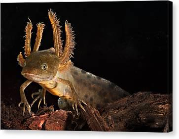 Crested Newt Larva Canvas Print by Dirk Ercken