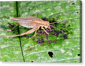 Neotropical Canvas Print - Cricket Feeding On Fallen Fruit by Dr Morley Read