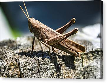 Cricket  Canvas Print by Steven  Taylor