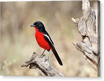 Crimson Breasted Shrike Canvas Print by Tony Camacho