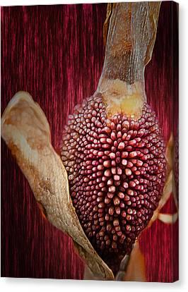 Crimson Canna Lily Bud Canvas Print by Bill Tiepelman