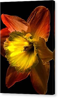 Crimson Daffodil Canvas Print