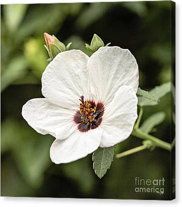 Crimson-eyed Mallow Canvas Print by Scott Pellegrin