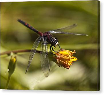 Canvas Print featuring the photograph Crimson-ringed  White Face Dragonfly On Flower by Lee Kirchhevel