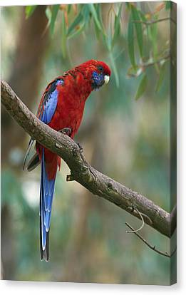 Canberra Canvas Print - Crimson Rosella Parrot Canberra by Martin Willis