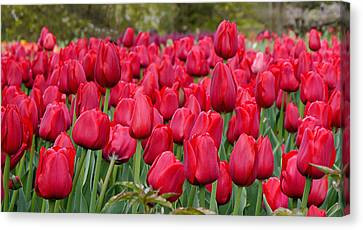 Crimson Tulips  Canvas Print