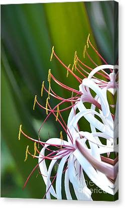 Canvas Print featuring the photograph Crinum Lily by Darla Wood
