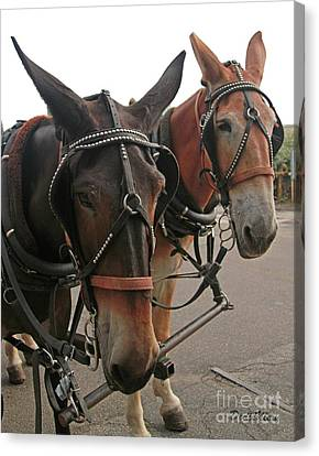 Mules In Harness -crocket And Tubbs Canvas Print by Dodie Ulery