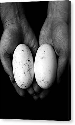 Crocodile Eggs Canvas Print by Kim Lagerhem