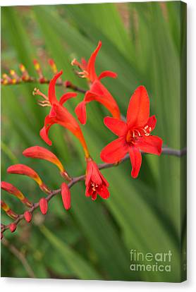 Crocosmia Brilliance In North Carolina Canvas Print by Anna Lisa Yoder