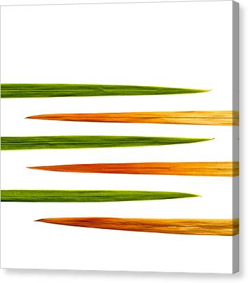 Crocosmia Leaves On White Background Canvas Print by Carol Leigh