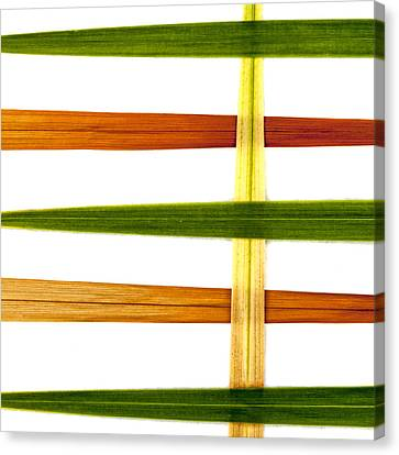 Crocosmia Leaves On White Canvas Print by Carol Leigh