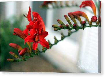 Crocosmia Two Canvas Print
