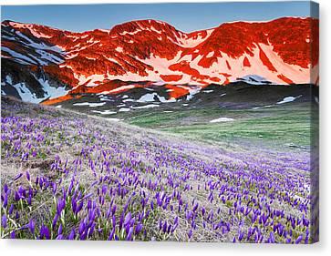 Crocus Flowers Canvas Print - Crocus At Sunrise by Evgeni Dinev
