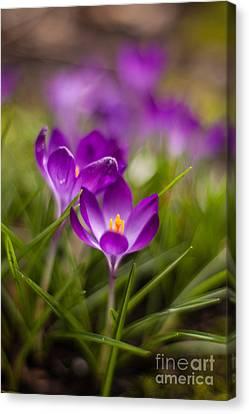 Crocus Blooms Spring Garden Canvas Print by Mike Reid