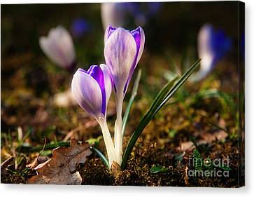Canvas Print featuring the photograph Crocus by Christine Sponchia