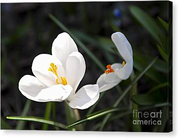 Crocus Flower Basking In Sunlight Canvas Print by Elena Elisseeva