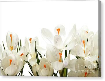Crocus Flower Canvas Print