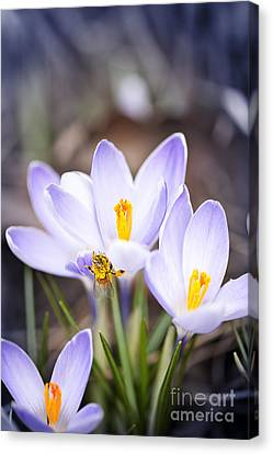 Crocus Flowers And Bee Canvas Print by Elena Elisseeva