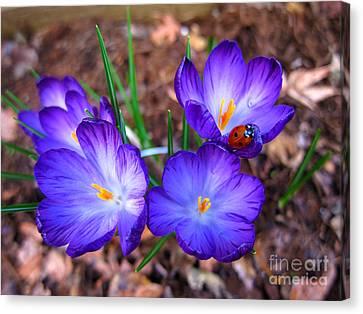 Crocus Flowers And Ladybug Canvas Print by Debra Thompson