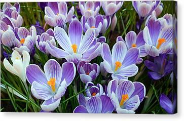 Crocus Flowers Canvas Print
