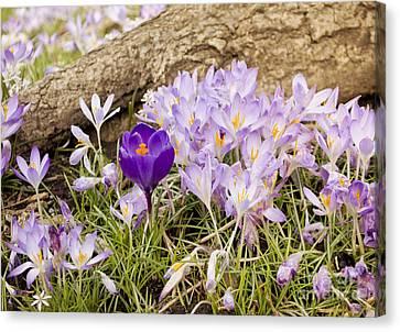 Crocus Garden In Spring Canvas Print by Maria Janicki