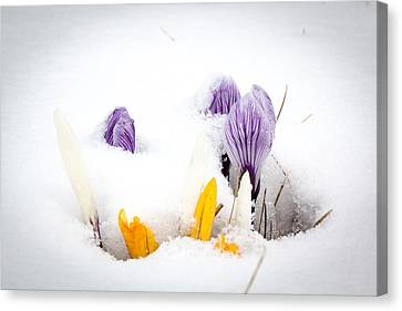 Crocus In The Snow Canvas Print by Nick Mares