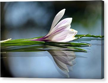 Crocus Reflections Canvas Print by  Andrea Lazar