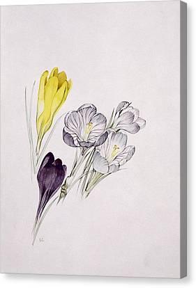 Crocus Canvas Print by Sarah Creswell