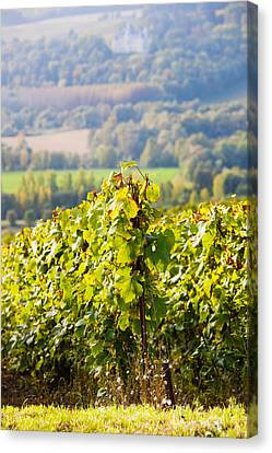 Crops In A Vineyard, Chigny-les-roses Canvas Print by Panoramic Images