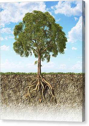 Cross Section Of Soil Showing A Tree Canvas Print by Leonello Calvetti