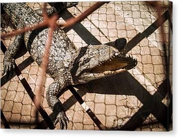 Crossbred Crocodile Canvas Print by Paul Williams