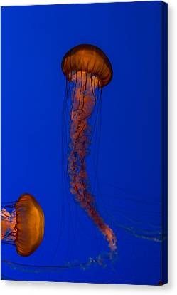 Monteray Bay Canvas Print - Crossing Pacific Sea Nettles 1 by Scott Campbell