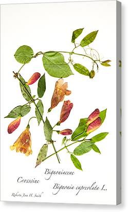 Crossvine Canvas Print