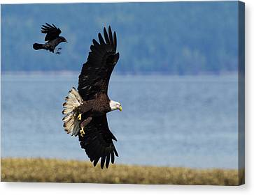 Crow Attacking Bald Eagle Canvas Print by Ken Archer