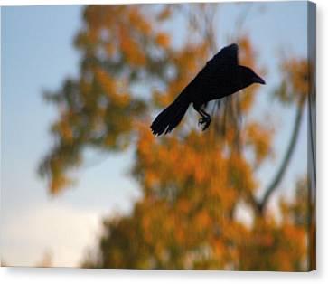 Crow In Flight 3 Canvas Print