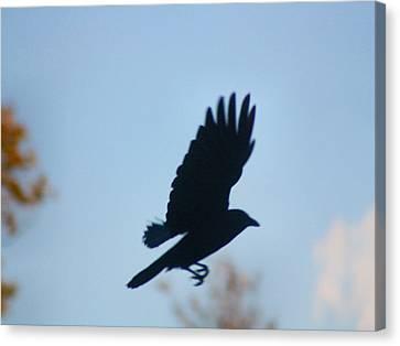 Crow In Flight 5 Canvas Print