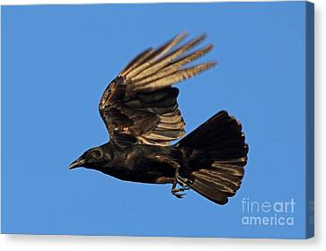 Canvas Print featuring the photograph Crow In Flight by Meg Rousher