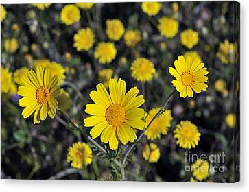 Crown Daisies Canvas Print by George Atsametakis