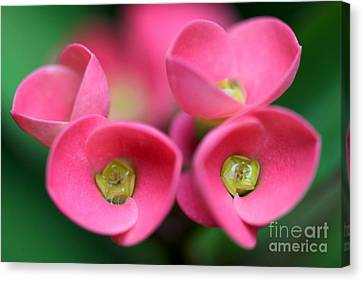 Canvas Print featuring the photograph Crown Of Thorns Photo by Meg Rousher