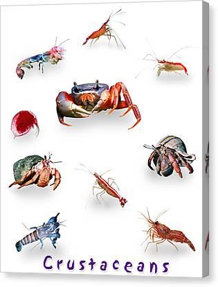 Crustaceans Canvas Print by Wernher Krutein