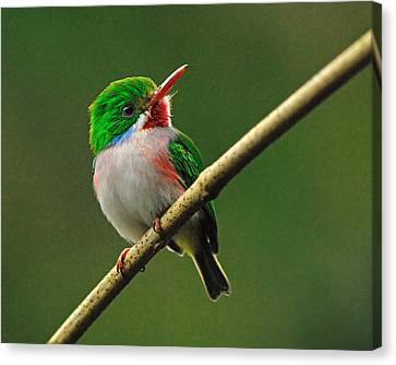 Cuban Tody Canvas Print by Tony Beck