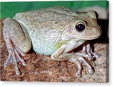 Cuban Tree Frog Osteopilus Canvas Print by Millard H. Sharp