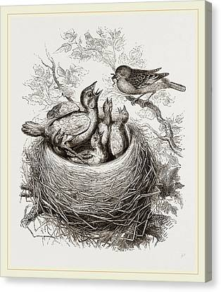 Cuckoo In Hedge-sparrows Nest Canvas Print by Litz Collection