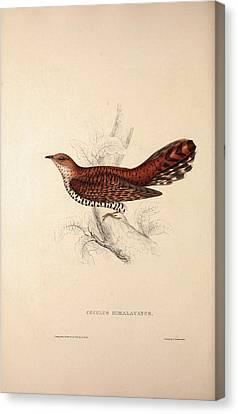 Cuculus Himalayanus, Himalayan Cuckoo. Birds Canvas Print by Quint Lox