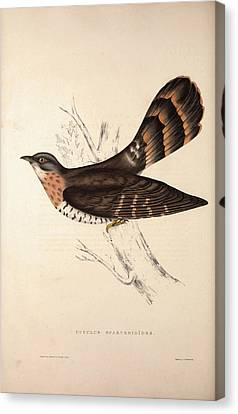 Cuculus Sparverioides, Large Hawk-cuckoo Canvas Print by Quint Lox